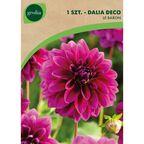 Dalia pomponowa LE BARON 1 szt. cebulki kwiatów GEOLIA
