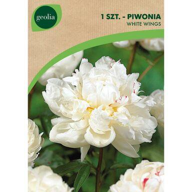 Piwonia WHITE WINGS 1 szt. GEOLIA