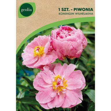 Cebulki kwiatów KONINGIN WILHELMINA Piwonia 1szt. GEOLIA