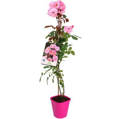 Roślina ogrodowa MIX Róża pnąca 90 cm
