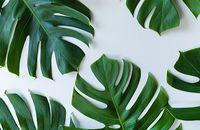 Monstera dziurawa – tropikalna, ozdobna roślina doniczkowa