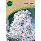 Cebulki kwiatów MISS HOLLAND Floks wiechowaty 1szt. GEOLIA