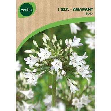 Cebulki kwiatów WHITE Agapant 1szt. GEOLIA