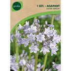 Cebulki kwiatów SILVER ARROW Agapant 1szt. GEOLIA