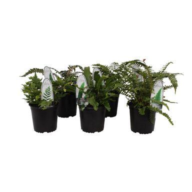 Paproć ogrodowa MIX 20 - 25 cm
