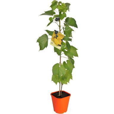 Sadzonka roślin pnących MIX Winorośl pachnąca 90 cm