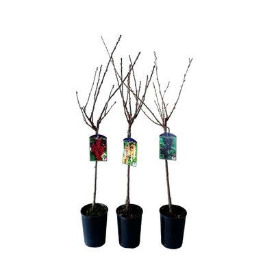 Krzewy owocowe (forma pienna) MIX 60 - 90 cm