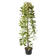 Drzewo Wierzba iwa 120 cm
