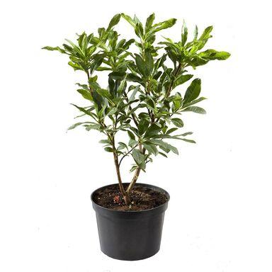 Roślina ogrodowa MIX Azalia wielkokwiatowa 35 - 40 cm