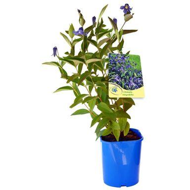 Sadzonka roślin pnących MIX Powojnik bylinowy 30 cm