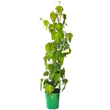 Bluszcz kolchidzki MIX 90 cm