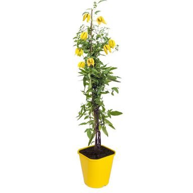 Sadzonka roślin pnących MIX Powojnik botaniczny 90 cm