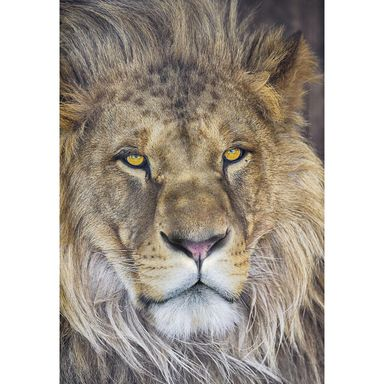 Fototapeta LION 127 x 127 cm