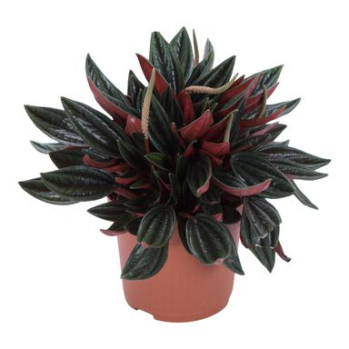 Peperomia 'Rosso' 15 cm