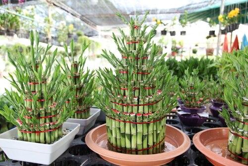 lucky bamboo  warto wiedziec porady leroy merlin