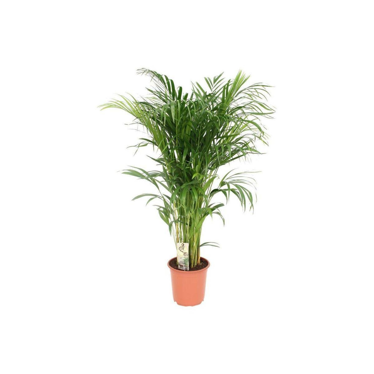 Areka 110 125 Cm Rosliny Zielone W Atrakcyjnej Cenie W Sklepach Leroy Merlin