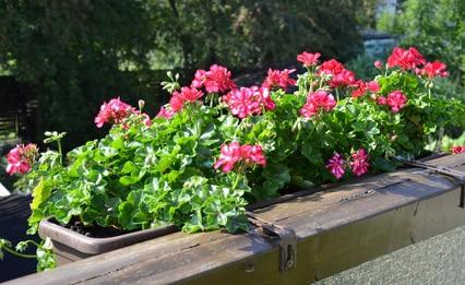 Sadzimy Rośliny Balkonowe Porady Leroy Merlin