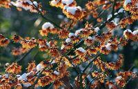 Oczary – krzewy kwitnące zimą