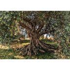 Fototapeta OLIVE TREE 368 x 254 cm KOMAR