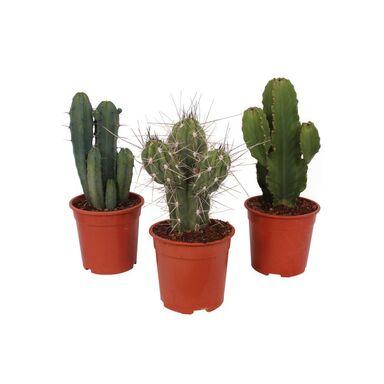 Kaktus 45 - 65 cm