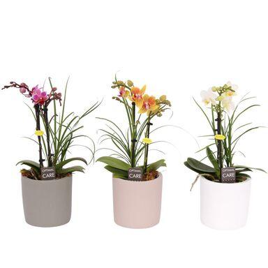 Storczyk Falenopsis 2 pędy + Nolina w osłonce ceramicznej 20 cm