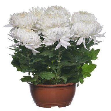 Chryzantema wielkokwiatowa 35 - 45 cm