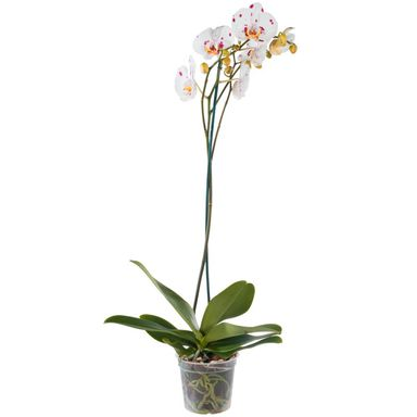 Storczyk Falenopsis Grandiflora 1 pęd MIX 100 cm