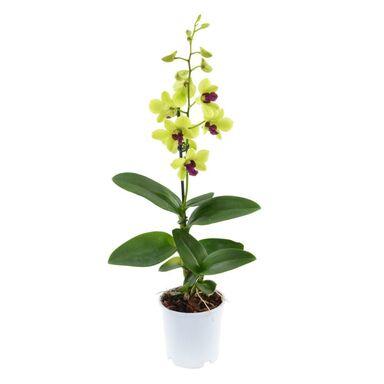 Storczyk Dendrobium 'Sa-Nook' 1 pęd MIX 50 cm
