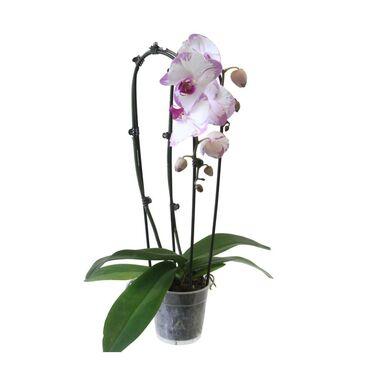 Storczyk Falenopsis Cascade 2 pędy MIX 60 cm