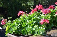 Kalendarz ogrodnika – sierpień