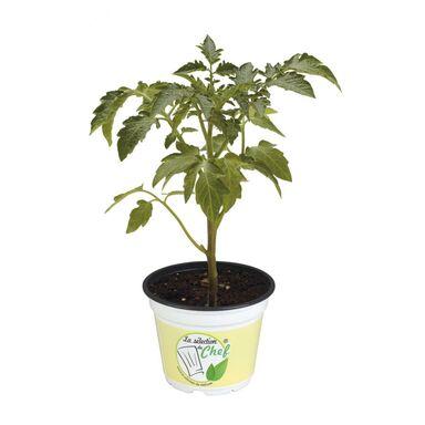 Pomidor MIX 20 - 30 cm LA SÉLECTION DU CHEF