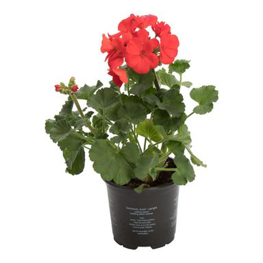 Pelargonia MIX 20 - 25 cm