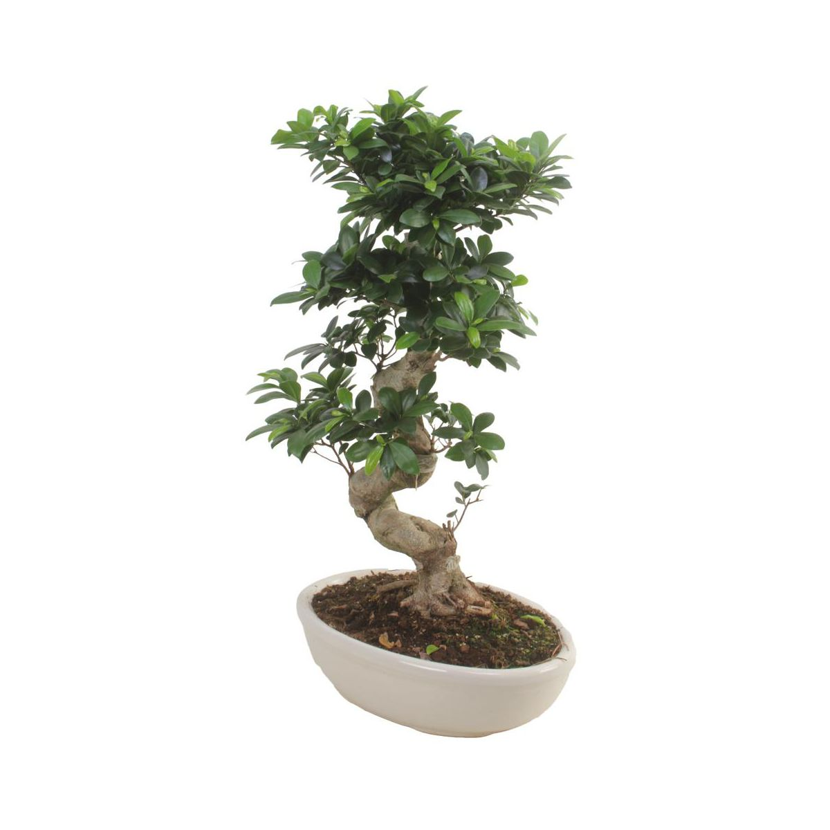 bonsai ficus ginseng kwiaty doniczkowe w atrakcyjnej cenie w sklepach leroy merlin. Black Bedroom Furniture Sets. Home Design Ideas