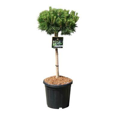 Krzew Sosna czarna 'Brepo' 80-90 cm