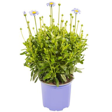 Roślina ogrodowa Felicja gawędkowa 'Felicitara Blue' 15 - 20 cm
