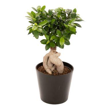 Bonsai Ficus Ginseng 45 cm