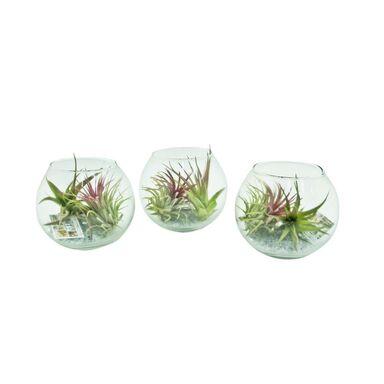 Tillandsia w szklanej kuli 12.5 cm