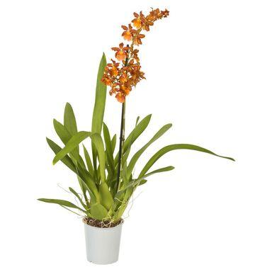Orchidea 1 pęd MIX 50 - 70 cm