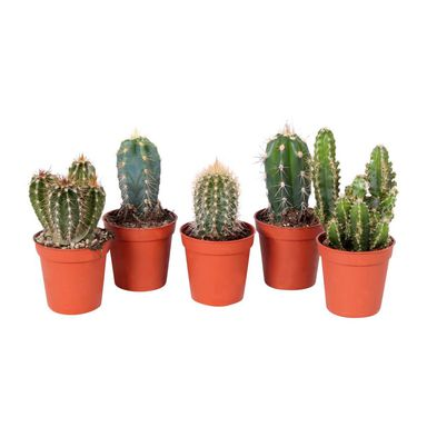 Kaktus kolumnowy MIX 12 cm