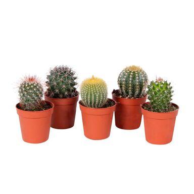 Kaktus kulisty MIX 7 cm