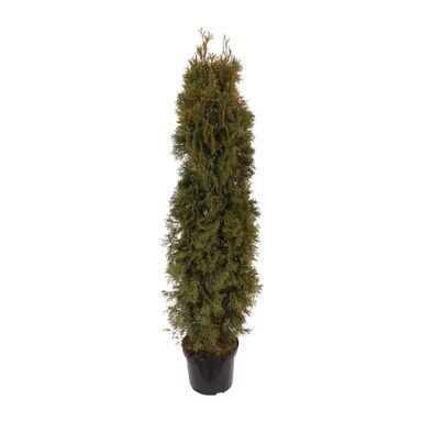 Tuja Smaragd 130 - 150 cm (Żywotnik zachodni)