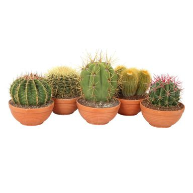 Kaktus 20-25 cm misa P20