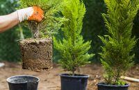 Sadzenie drzew i krzewów iglastych – jakie rośliny wybrać?