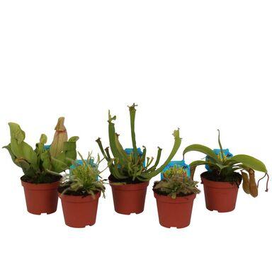 Rośliny owadożerne MIX 15 - 40 cm