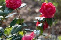 Jak zabezpieczyć róże na zimę?