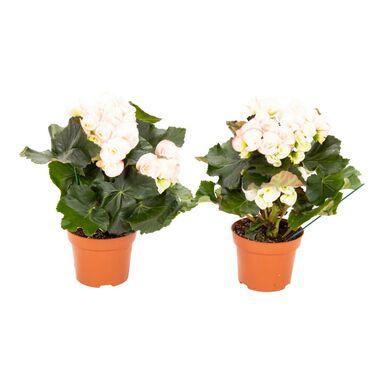 Begonia Camella 30 Cm Rosliny Kwitnace W Atrakcyjnej Cenie W Sklepach Leroy Merlin