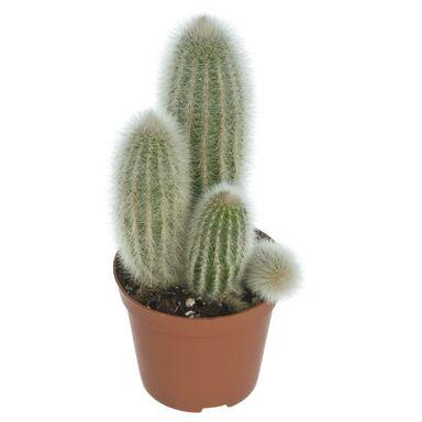 Kaktus MIX 15 cm