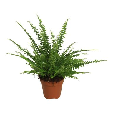 Nefrolepis 'Green Lady' 25 - 30 cm AIR SO PURE