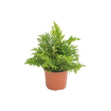 Paproć ogrodowa MIX 20 - 30 cm