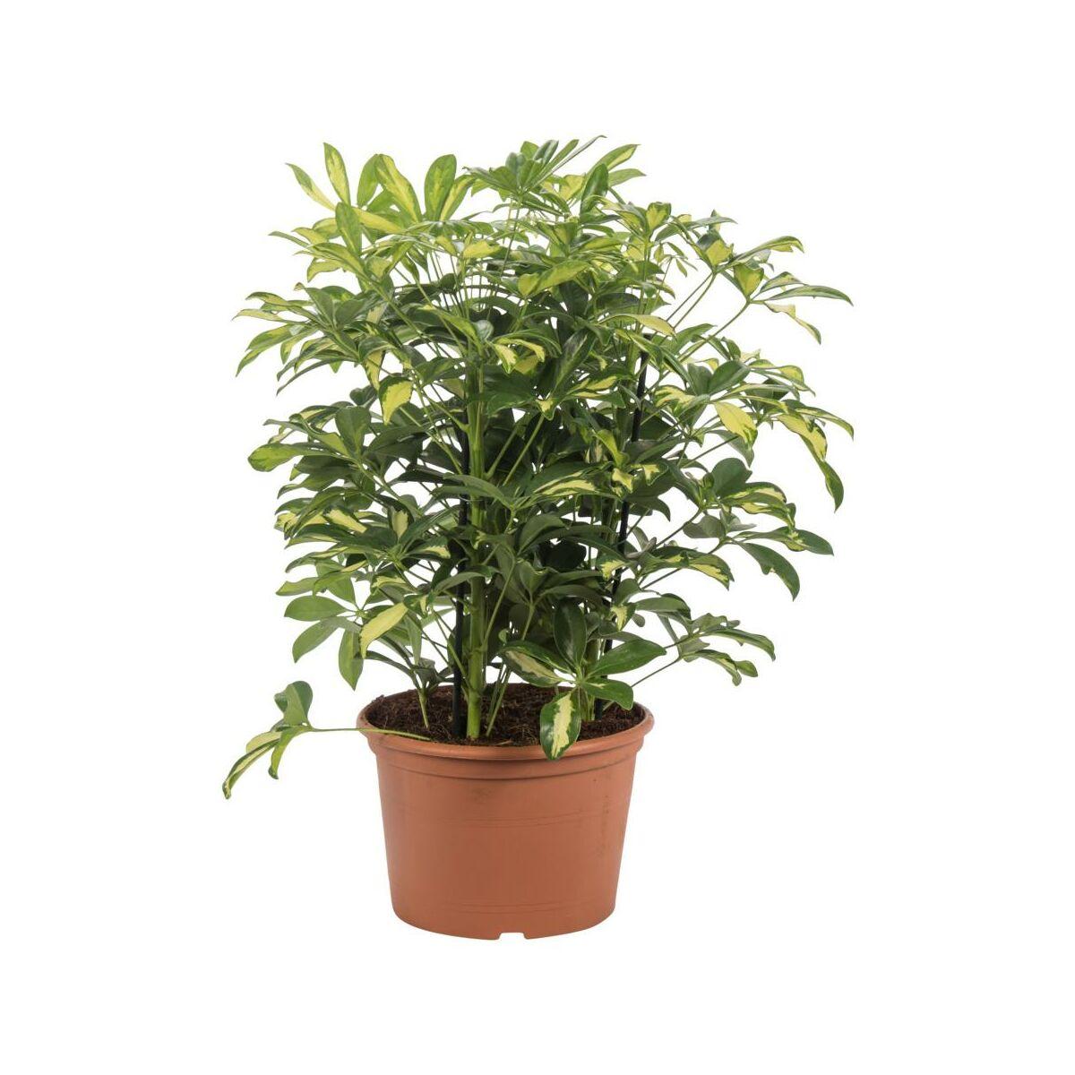Szeflera MIX 55 cm - Rośliny zielone - w atrakcyjnej cenie w sklepach Leroy  Merlin.